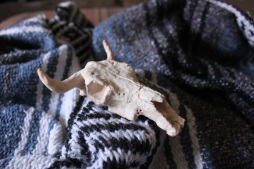 clay bull 3